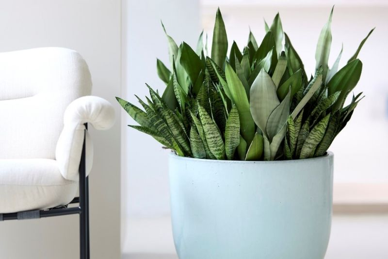 Houseplant of the month: Sansevieria